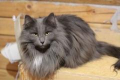 Норвежская лесная кошка Anniken Aborigen