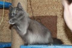 Норвежская лесная кошка Anniken Aborigen 18