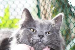 Норвежская лесная кошка Anniken Aborigen 1