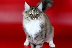 Норвежская лесная кошка Astrid Kraski Zhizni 1