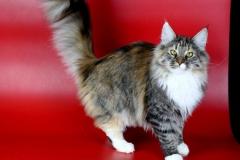 Норвежская лесная кошка Astrid Kraski Zhizni 7