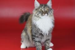 Норвежская лесная кошка Astrid Kraski Zhizni 8