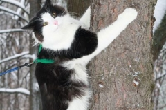 Норвежский лесной кот Cosmo Camelion*PL 47