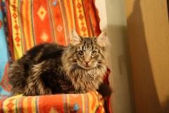 Норвежский лесной кот DonTomaso's Gaston