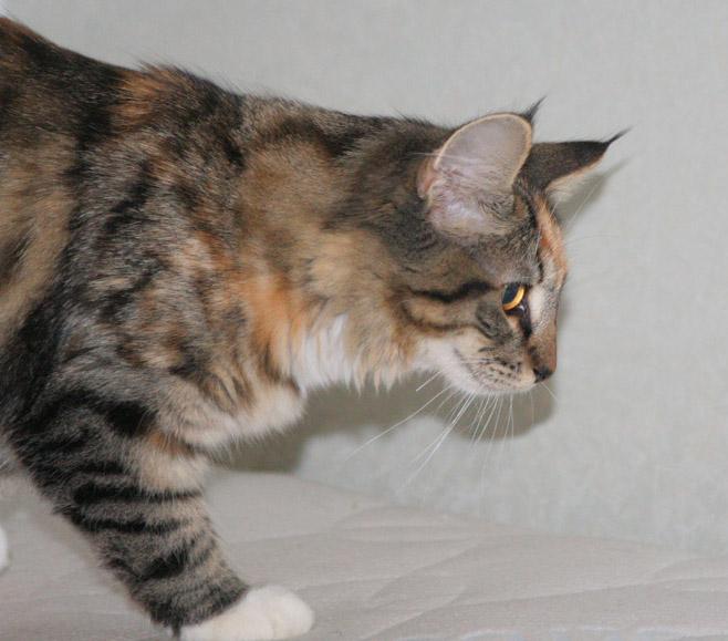 Норвежская лесная кошка Gloria Astra Polaris 10 месяцев 4