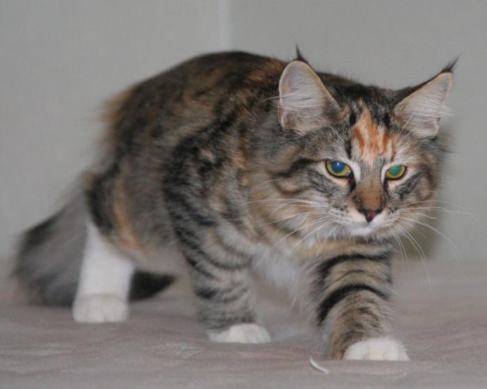 Норвежская лесная кошка Gloria Astra Polaris 10 месяцев 5