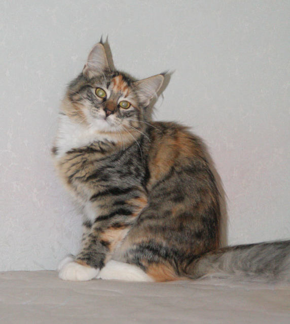 Норвежская лесная кошка Gloria Astra Polaris 10 месяцев 6