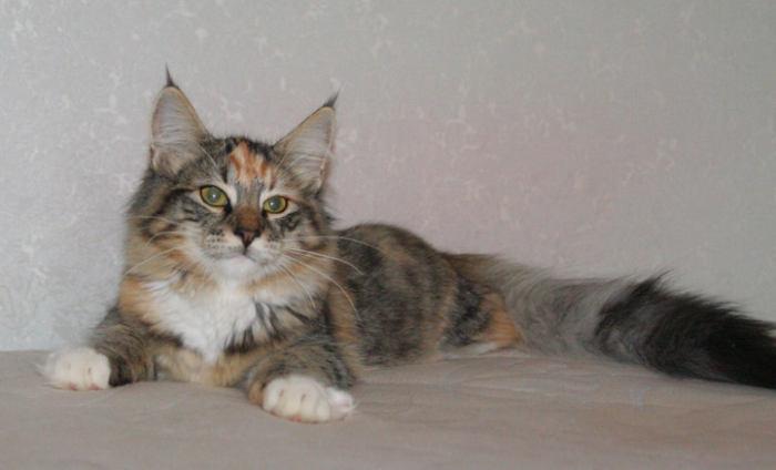 Норвежская лесная кошка Gloria Astra Polaris 10 месяцев 7