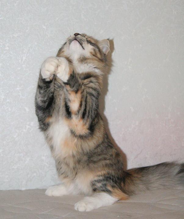 Норвежская лесная кошка Gloria Astra Polaris 10 месяцев 8