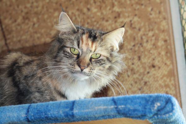 Норвежская лесная кошка Gloria Astra Polaris 1