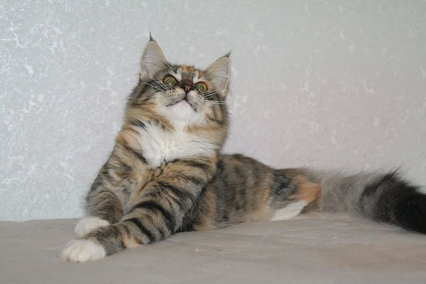 Норвежская лесная кошка Gloria Astra Polaris 10 месяцев 1
