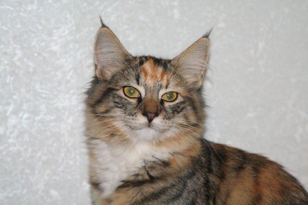 Норвежская лесная кошка Gloria Astra Polaris 10 месяцев 2