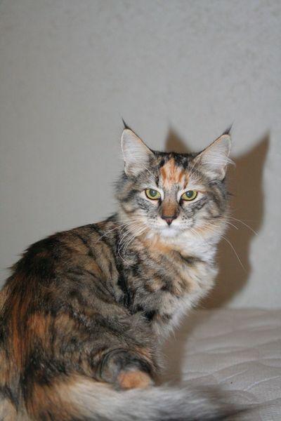Норвежская лесная кошка Gloria Astra Polaris 10 месяцев 3