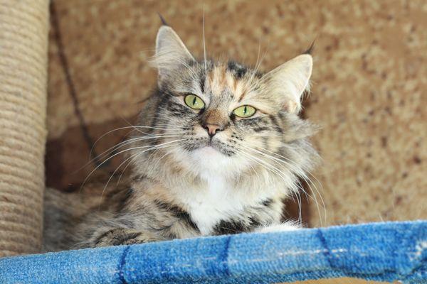 Норвежская лесная кошка Gloria Astra Polaris 5