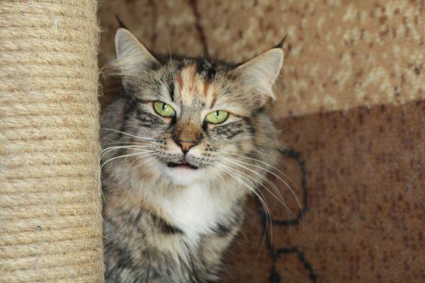 Норвежская лесная кошка Gloria Astra Polaris 3