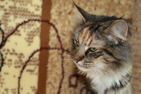 Норвежская лесная кошка Gloria Astra Polaris 10