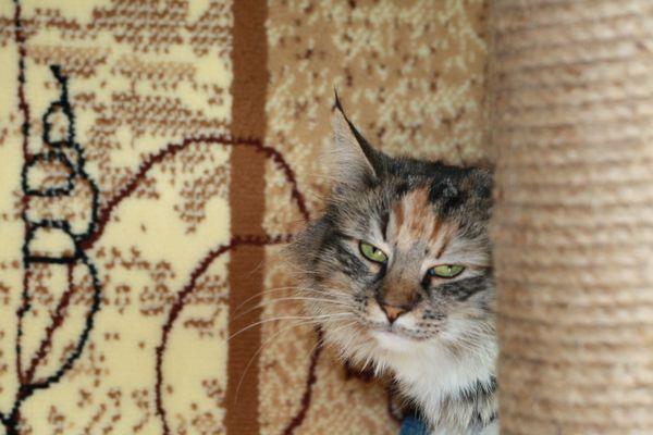 Норвежская лесная кошка Gloria Astra Polaris 6