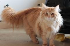 Норвежский лесной кот Holidei NordCat*Orel (Холлидей) 15
