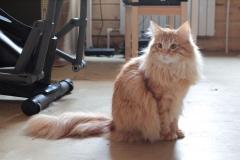 Норвежский лесной кот Holidei NordCat*Orel (Холлидей) 18