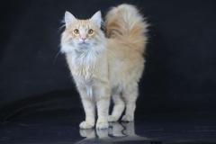 Норвежский лесной кот Holidei NordCat*Orel (Холлидей) 46