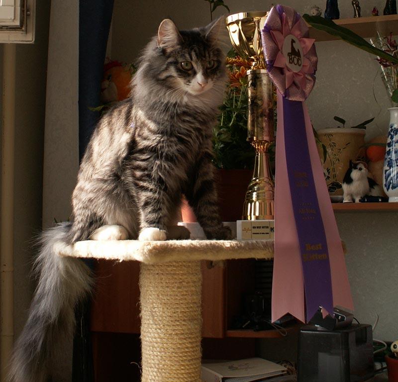 Норвежская лесная кошка Octarine Arabeska Crace 7