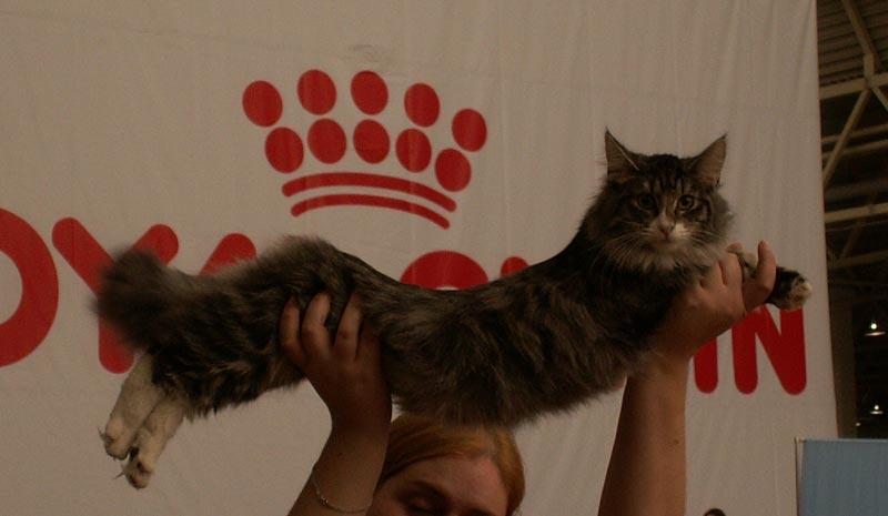 Норвежская лесная кошка Octarine Arabeska Crace 6