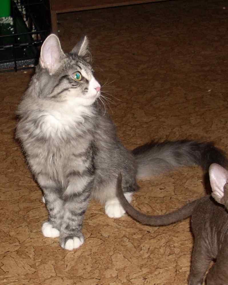 Норвежская лесная кошка Octarine Arabeska Crace 2