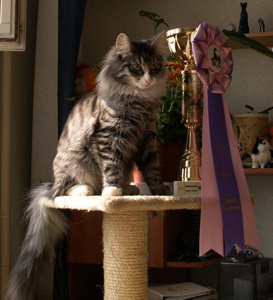 Норвежская лесная кошка Octarine Arabeska Crace 3