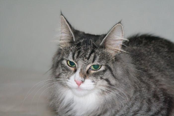 Норвежская лесная кошка Octarine Arabeska Crace 8