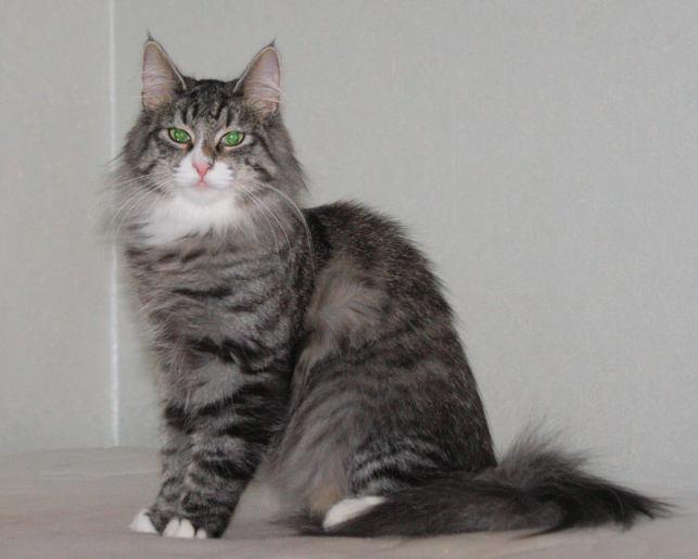 Норвежская лесная кошка Octarine Arabeska Crace 9