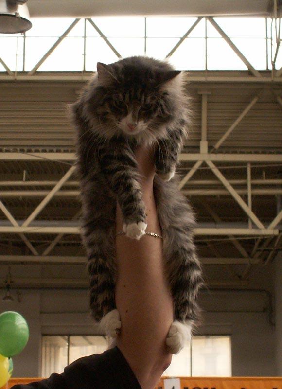 Норвежская лесная кошка Octarine Arabeska Crace 11