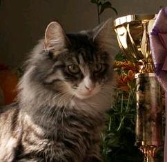 Норвежская лесная кошка Octarine Arabeska Crace 15