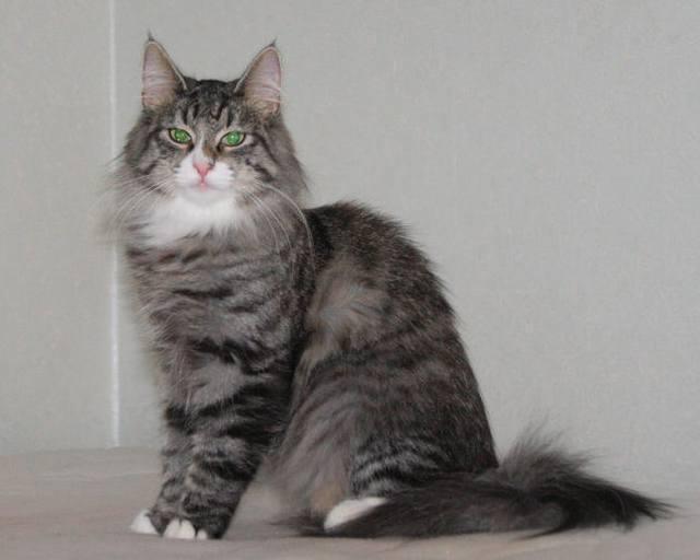 Норвежская лесная кошка Octarine Arabeska Crace 18