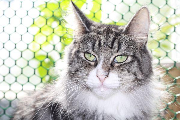 Норвежская лесная кошка Octarine Arabeska Crace 19