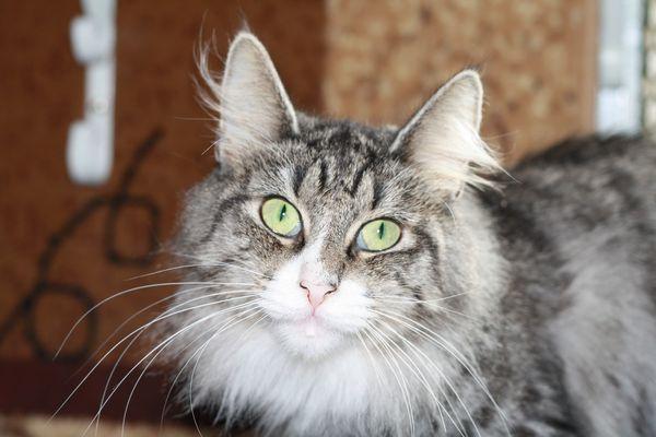 Норвежская лесная кошка Octarine Arabeska Crace 20