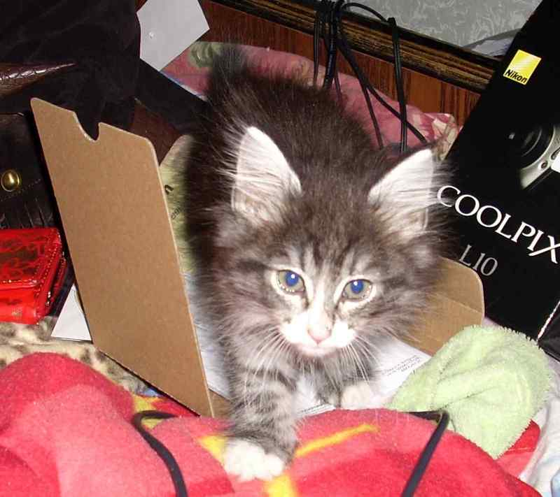 Норвежская лесная кошка Octarine Arabeska Crace 14