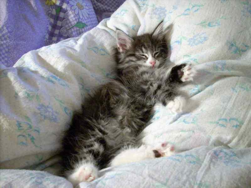 Норвежская лесная кошка Octarine Arabeska Crace 16