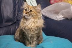 Норвежская лесная кошка Randy Furry-Neko 5