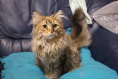 Норвежская лесная кошка Randy Furry-Neko 6