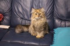 Норвежская лесная кошка Randy Furry-Neko 3