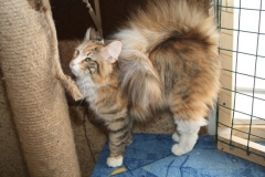Норвежская лесная кошка Sudzuky Furry-Neko 16