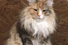 Норвежская лесная кошка Sudzuky Furry-Neko 42