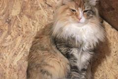 Норвежская лесная кошка Sudzuky Furry-Neko 44
