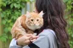Teddy Furry-Neko котенок норвежской лесной кошки 30