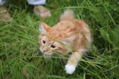 Teddy Furry-Neko котенок норвежской лесной кошки 31