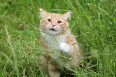 Teddy Furry-Neko котенок норвежской лесной кошки 32