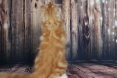 Teddy Furry-Neko котенок норвежской лесной кошки 19