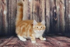 Teddy Furry-Neko котенок норвежской лесной кошки 24