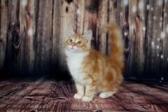 Teddy Furry-Neko котенок норвежской лесной кошки 27