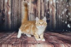 Teddy Furry-Neko котенок норвежской лесной кошки 6